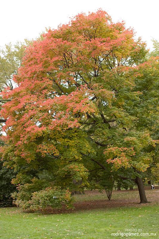Central Park - Tree I
