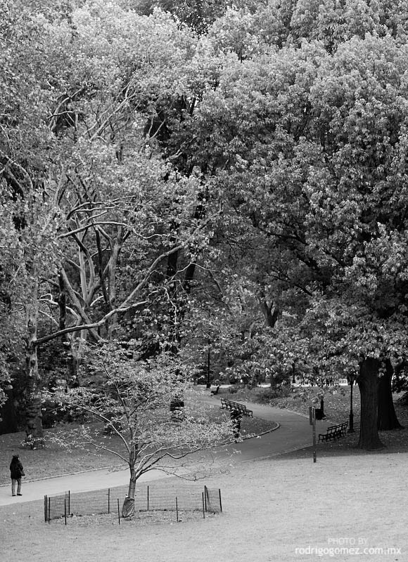Central Park - Tree II