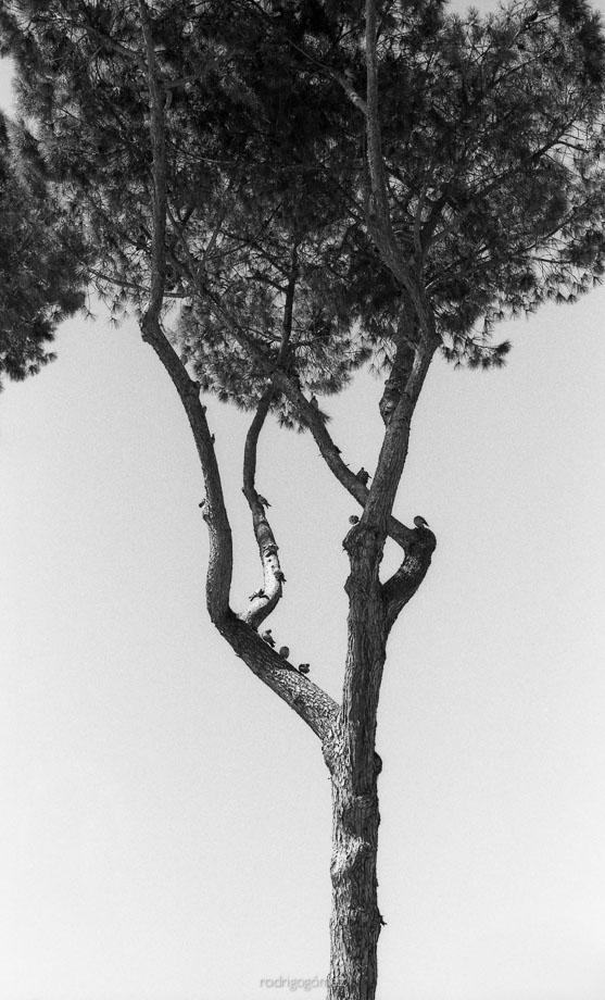 Arboles en Roma - Roma, Italia